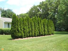 Backyard Fence Prices Emerald Arborvitae Trees For Sale Emerald Green Thuja On