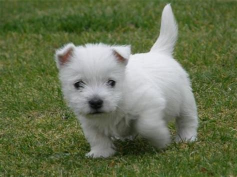 westie dogs west highland terrier puppies dundee angus pets4homes