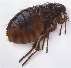 Fleas In Sofa What S The Difference Between Fleas And Ticks