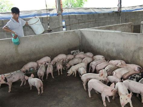 sle business plan on pig farming plan needed to rescue vn pig farming industry news