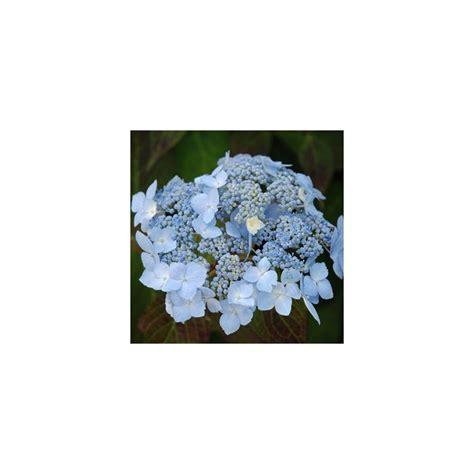 deckenle flur hortensia blue deckle plantes et jardins