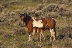 Mustang Horse Black Wild Horse Rangers Wild Horse Ranger Is Dedicated To Preserving And Enhancing The Rangelands