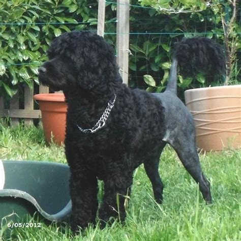 do dogs water mating or marriage realised with the portuguese water pwd breed near bordeaux