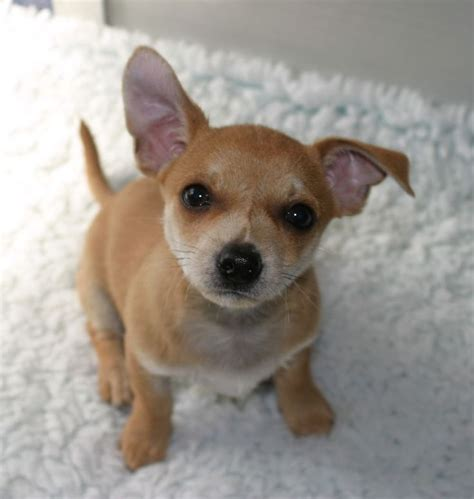 chihuahua terrier mix puppies 54 best images about chihuahua terrier mix dogs on chihuahuas chihuahua