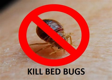 how to kill bed bugs with alcohol how to kill bed bugs