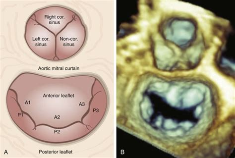 aortic mitral curtain three dimensional anatomy of the aortic and mitral valves