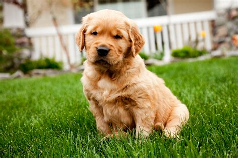 golden retriever growth stages pictures golden retriever puppy stages dogs in our photo
