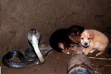 all about puppies hours two puppies fell into a cobra pit but what happens is