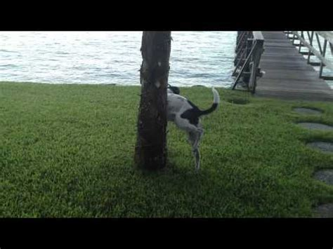 5 year old dog started peeing in the house dog pees on tree for over one minute youtube