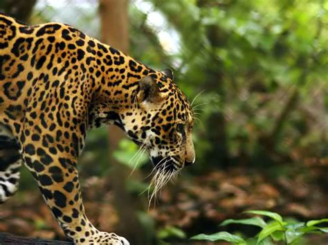jaguar pictures wild jaguar predator animal pictures