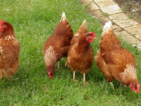 Backyard Chickens Florida Backyard Chickens Could Be Banned From Safety Harbor