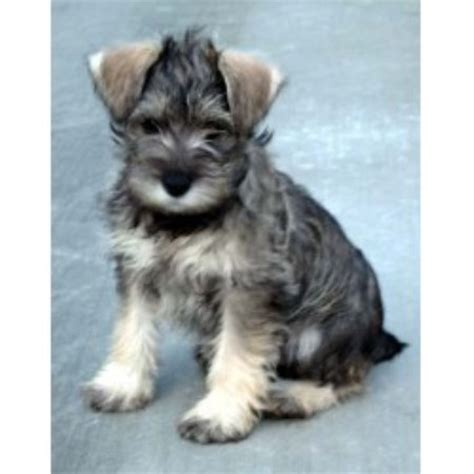 standard schnauzer puppies for sale in ga miniature schnauzer breeders in maryland freedoglistings