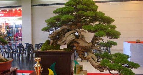 Jual Bakalan Bonsai jual bakalan bonsai santigi pemphis acidula