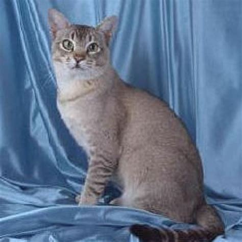 asian breeds asian cat breed asian cat breed breeds picture