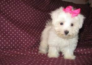 Puppies For Sale And Healthy Maltese Puppies For Sale Offer Saudi