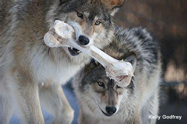Omega Skeleton 3 All Black Chain feeding behavior international wolf center