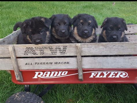 puppies for sale in harrisonburg va akc puppies for sale in virginia page 3 akc marketplace