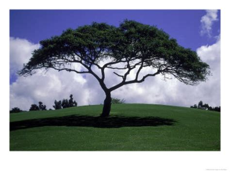 best shade of shade tree on grassy hill posters free images at clker