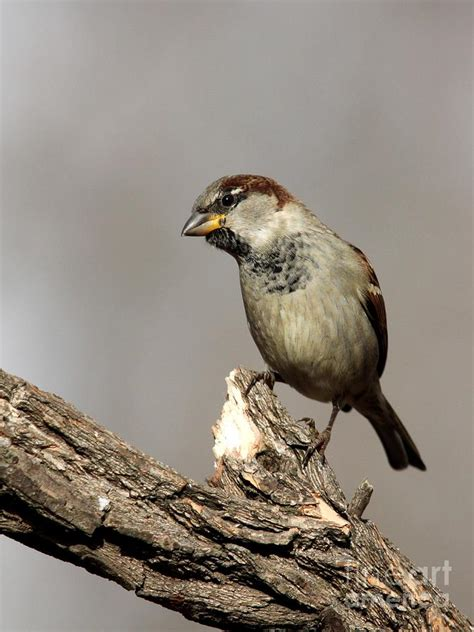 english house sparrow english house sparrow photograph by jack r brock