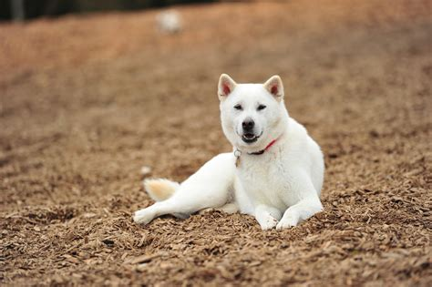 doge puppy resting kishu photo and wallpaper beautiful resting kishu pictures