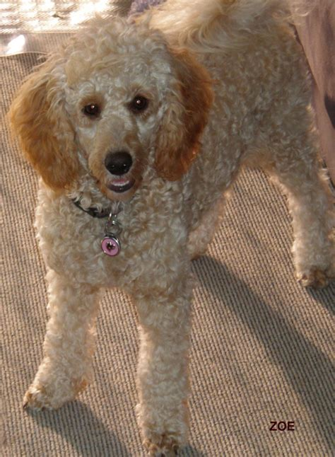 mini poodle grown grown miniature poodle images search