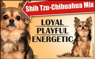 chiweenie shih tzu mix tips on housebreaking your chihuahua