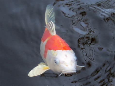 imagenes de zen koi free images white clear swim feed red black gill