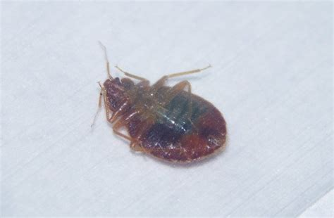 dead bed bug images dead bed bug images 28 images bug id needed dead bb a cockroach nymph 171 got bed