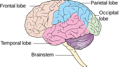 diagram of brain lobes brain diagram cliparts co