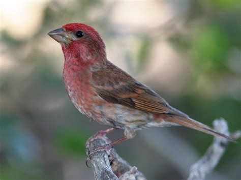 mystery bird purple finch carpodacus purpureus living