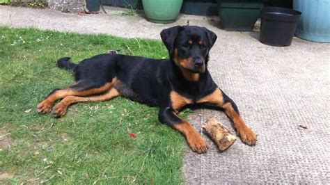 rottweiler with rotterman rottweiler and doberman pinscher mix