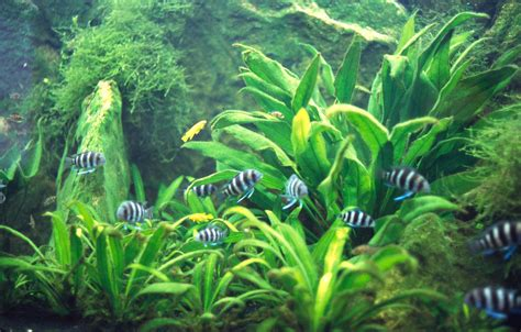 amazon plants fmueller com 187 amazon sword plant echinodorus sp