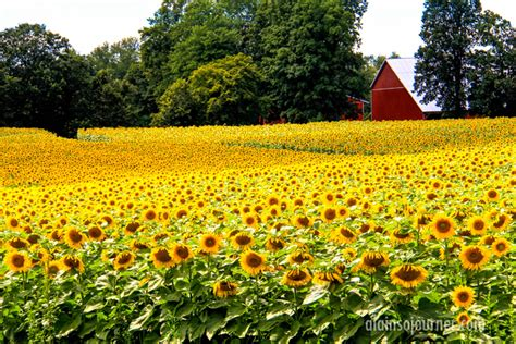 sunflower farm hamilton sunflower farm