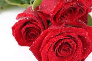 imagenes de rosas rojas y blancas fotos de amapolas blancas anaranjadas y rojas p3 fotos