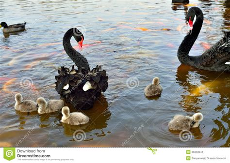 black swan and babies the black swan stock image image 36353941