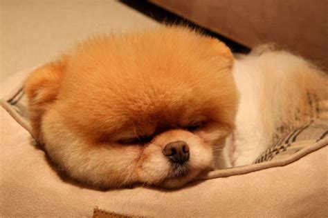 pictures of boo the pomeranian meet boo the cutest pomeranian damn cool pictures