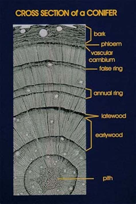 Tree Cross Section Diagram by Eli Climate Change Support Materials Paleoclimatology