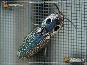 Black and white click beetle eastern eyed click beetle bug