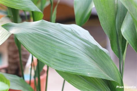 aspidistra elatior how to grow and care for cast iron plant aspidistra