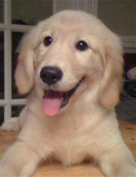 potty golden retriever puppy easy potty instead of housebreaking smart animal systems