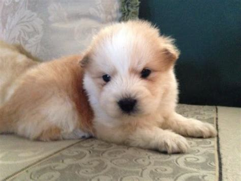 chow golden retriever mix puppies for sale hesperia for sale puppies for sale