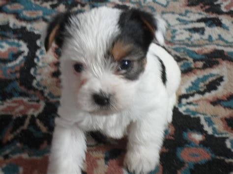 white and yorkie black and white teacup yorkie www pixshark images galleries with a bite