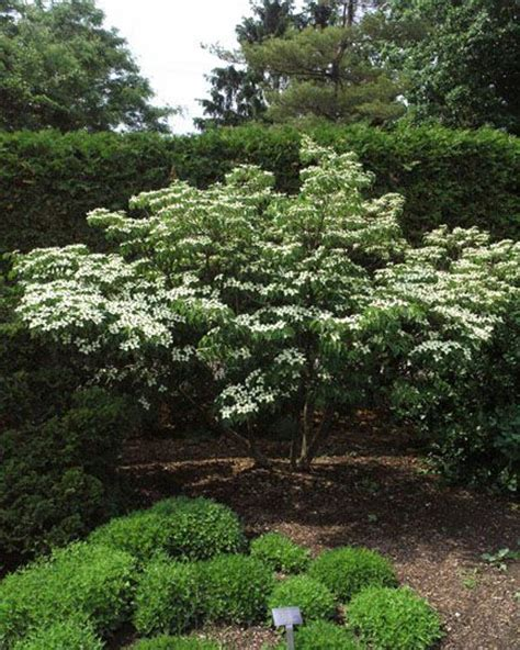 chinensis variegated dogwood growing things pinterest