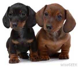 Dachshund Puppies For The Of Sausage Dogs So You Want To Buy A Dachshund