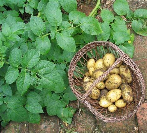 pomme de si鑒e social description morphologique de la pomme de terre agronomie