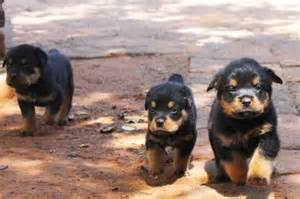 rottweiler puppies for sale in eastern cape rottweiler puppies for sale bloemfontein dogs and puppies junk mail classifieds