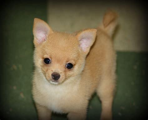 pomchi puppy past pomchis