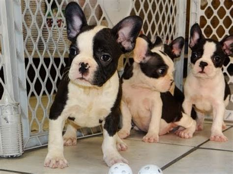 puppies for sale in wisconsin frenchton puppies for sale in milwaukee wisconsin wi brookfield wausau new