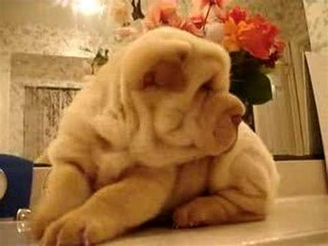 shar pei puppies babies available shar pei puppy baby
