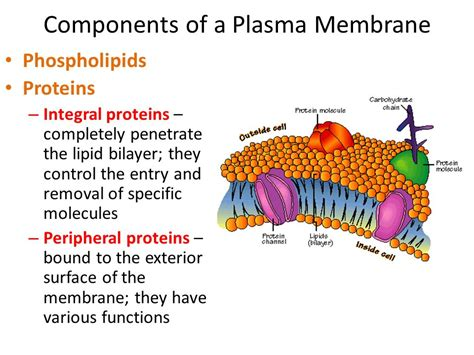5 proteins in the cell membrane plasma membrane ppt